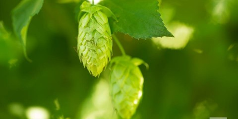 Belma hop - Picture taken for Puterbaugh Farms by http://cdstuderphotography.com/