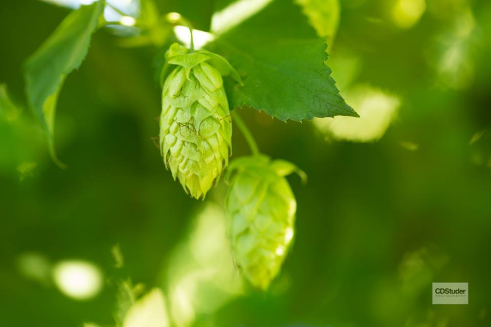 Picture of a Belma Hop taken for Puterbaugh Farms by http://cdstuderphotography.com/